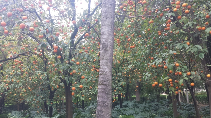 So many orange trees.